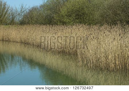 Bulrushes on the edge of a lake in Spring