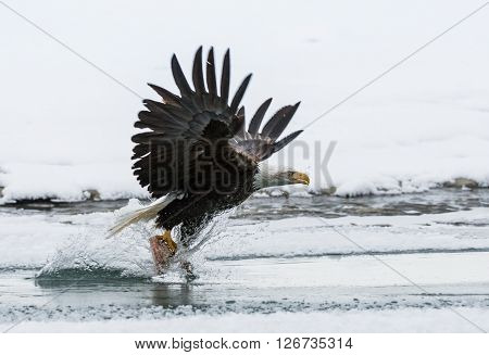 The Eagle Who Is Flying Up Over Water With The Prey