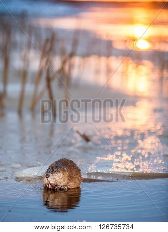 Muskrat (ondatra Zibethica) On An Ice Edge. The Muskrat Sits On An Ice Edge On A Sunset