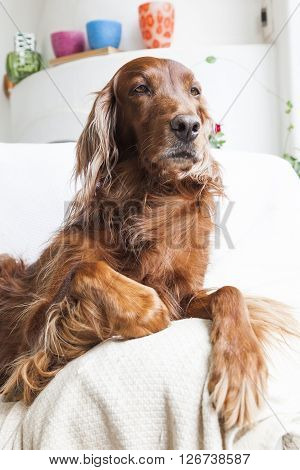 Irish setter dog sitting, seen from the side