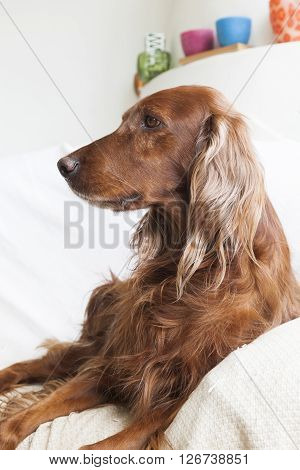Irish setter dog sitting, seen in profile.