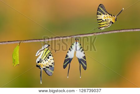 Five bar swordtail butterfly life cycle (antiphates pompilius)