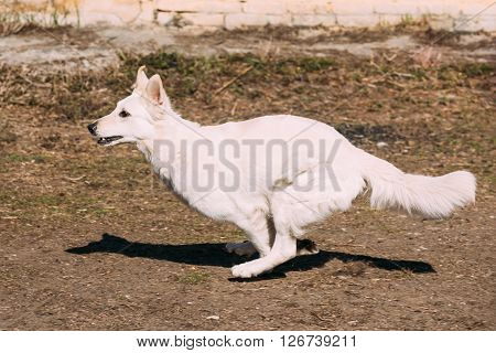 Fast Running White Swiss Shepherd Dog Berger Blanc Suisse. The Berger Blanc Suisse is a breed of dog from Switzerland.