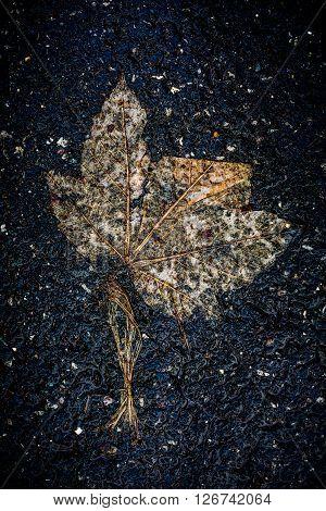 single decay leave on dark wet asphalt after rain