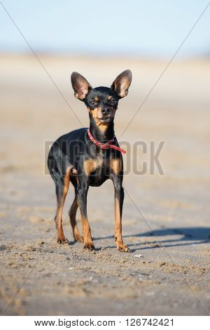 russian toy terrier dog on the beach