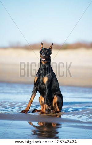 black doberman dog posing on the beach