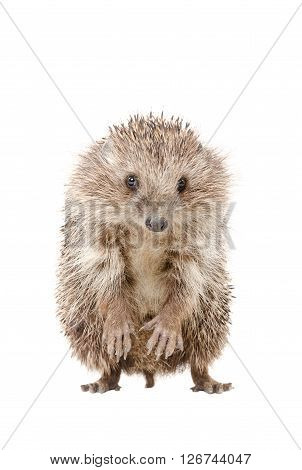 Portrait of a hedgehog standing on his hind legs isolated on a white background