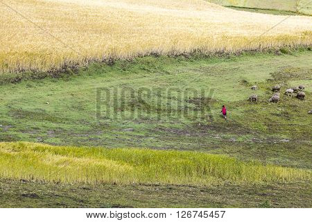 Barley crops around Zumbahua and farmers tending their animals province of Cotopaxi Ecuador