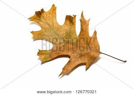 Dry autumn oak leaf on over white