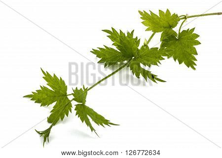 Young shoots of hops isolated on white background