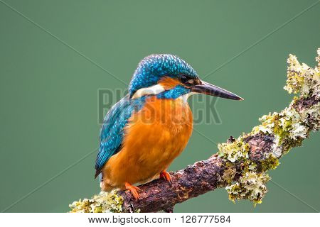Female Common Kingfisher (Alcedo atthis) perched on a lichen covered branch hunting for stickleback fish