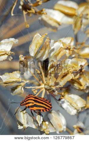 Bug, Graphosoma italicum, in Spain.
