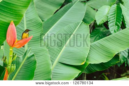 colibri bird sitting on banana flower with soft focus banana leaves background