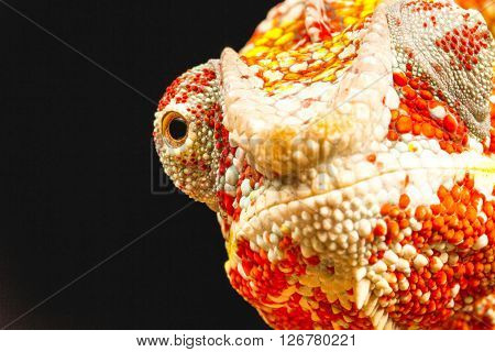 Close up of the eye of a Panther Chameleon (Furcifer pardalis) native to Madagascar