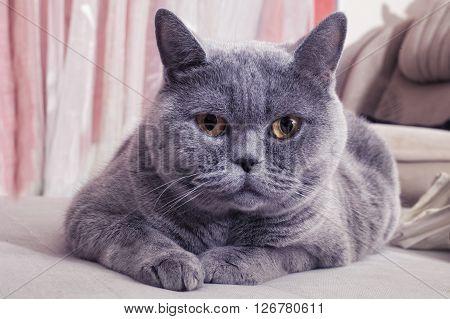 Beautiful Gray British cat lying on a sofa