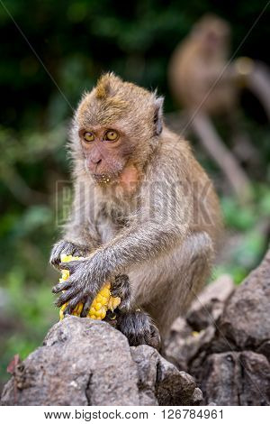 Crab-eating macaque sitting on a rock holding raw corn