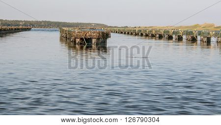 Row of oyster traps in prince edward island