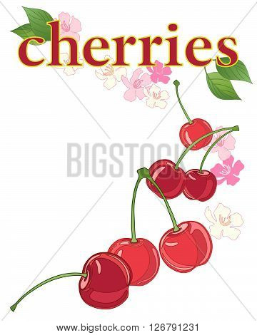 an illustration of an advert for fresh cherries with blossom and foliage on a white background