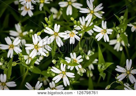 Amazing Spring White Flowers Of Chickweed