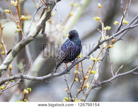 Common Starling (Sturnus vulgaris) also known as the European Starling or just Starling.