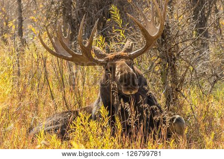 a big bull moose in Wyoming in fall
