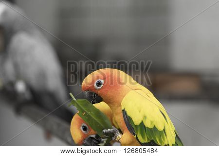 Two lovely sun conure parrots bird on the branch eating their food ** Note: Soft Focus at 100%, best at smaller sizes