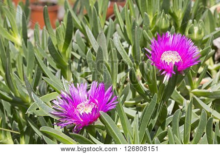 Carpobrotus acinaciforme (Hottentot fig) flowers and leaves