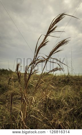 Closeup Oat Grass Waving in the Wind Skyward View