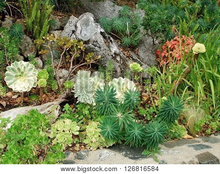 Rock garden with multiple sedum plants and aloes