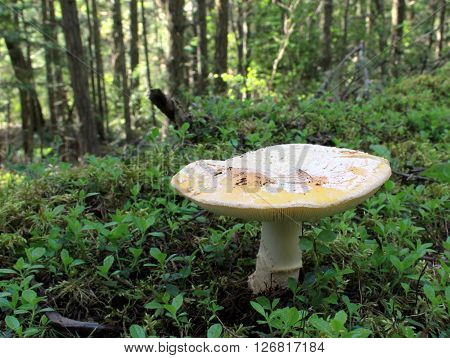 Amanita aprica mushroom growing in the forest