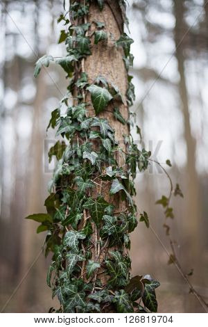 Ivy (Hedera Helix) climbing up the trunk of a tree in the forest.