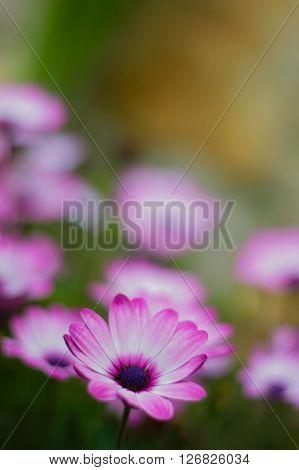 Macro of violet calendula flowers in the garden