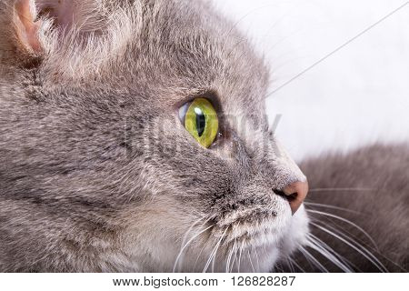 Profile of a cat's muzzle copyspase on the right. Light background close up small depth of sharpness
