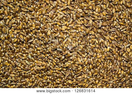 Processed organic wheat grains as agricultural background. grain