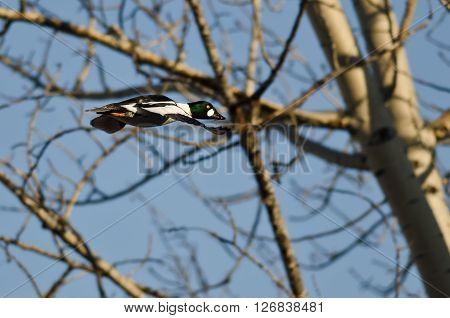 Male Common Goldeneye Flying Among the Trees