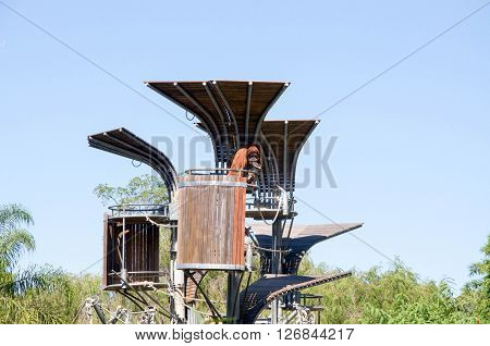 PERTH,WA,AUSTRALIA-MARCH 20,2016: Sumatran Orangutan on climbing tower at the Perth Zoo in Perth, Western Australia.