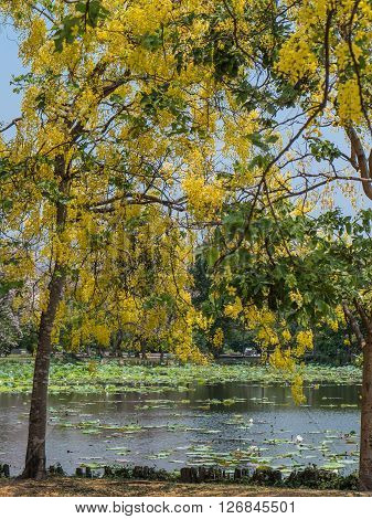 Golden shower tree or Cassia fistula in public park