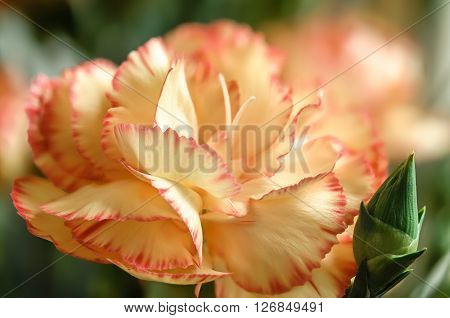 Pale yellow and orange carnation flower closeup