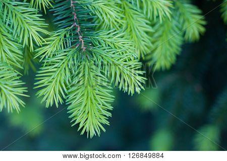 Pine branch close-up