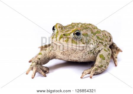 emerald toad isolated on a white background