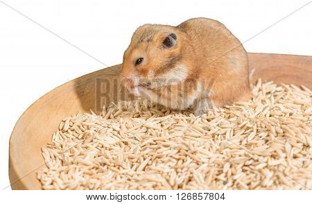 Hamster portrait on heap of grain on white background
