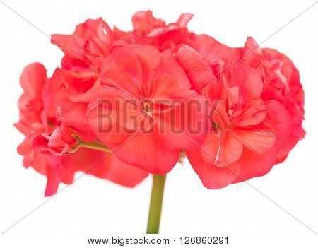 The pink bloom from a geranium with leaves isolated on white background