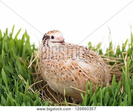 Cute quail with eggs in the straw nest on the grass over white background
