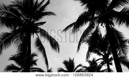 Black and white silhouette of coconut trees or palm trees.