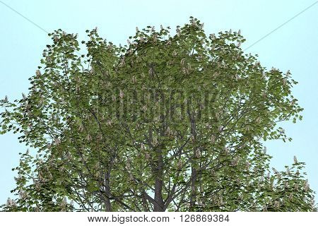 Buckeye Rosskastanie Aesculus hippocastanum on clean Background. Nice 3D Rendering