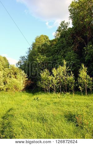 sunny edge of a deciduous russian forest with green grass and tender young trees at summer