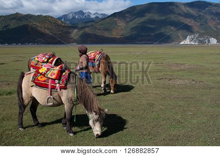 Horses for tourist in grass field at Shangri-La China