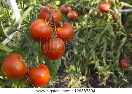 Fresh red organic tomatoes on the vine in garden