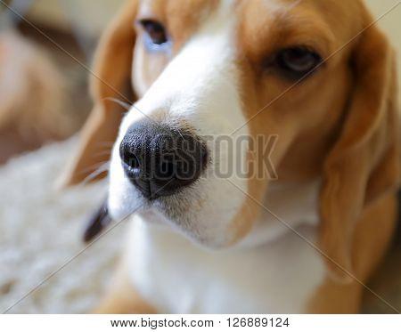 Beagle dog nose sad beagle on the capet selective focus