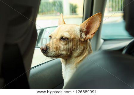 Dog looking out the car window in anticipation. Dog sitting in the car waiting for the host.